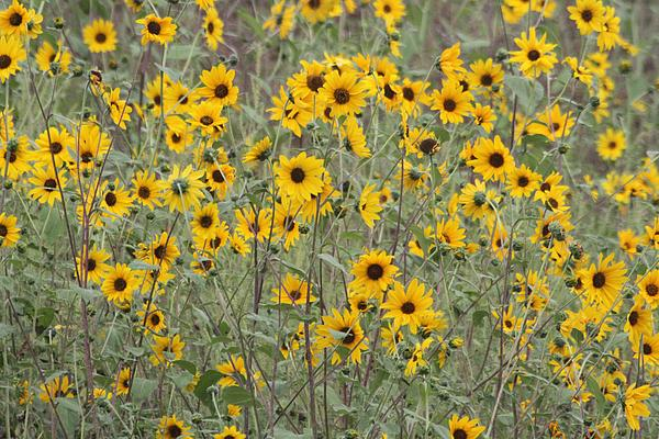 Sunflower Patch On The Hill Print by Tom Janca