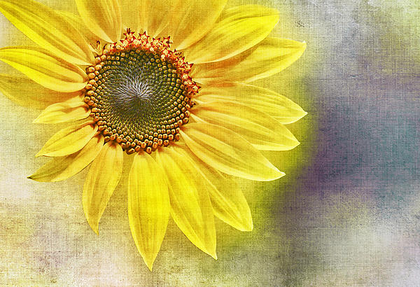 Sunflower Print by Penny Pesaturo