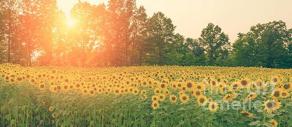 Michael Ver Sprill - Sunflower Sunset