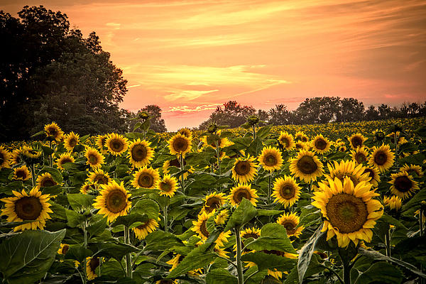 Steven Bateson - Sunflower Sunset
