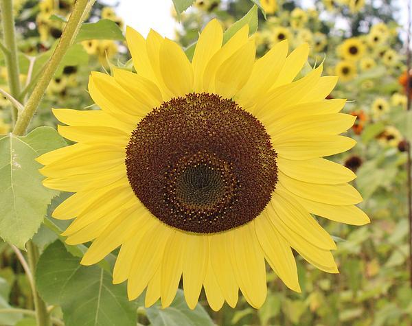 Karen Silvestri - Sunflower Sunshine