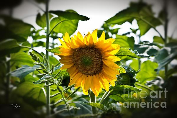 Sunflower Vignette Edges Print by Ms Judi