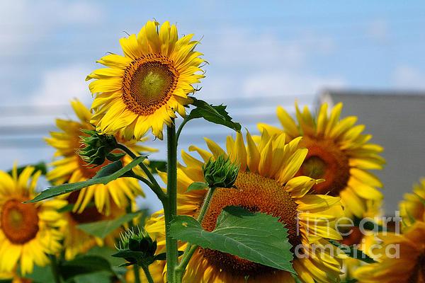 Sunflowers 1 2013 Print by Edward Sobuta