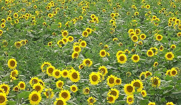 Aimee L Maher - Sunflowers