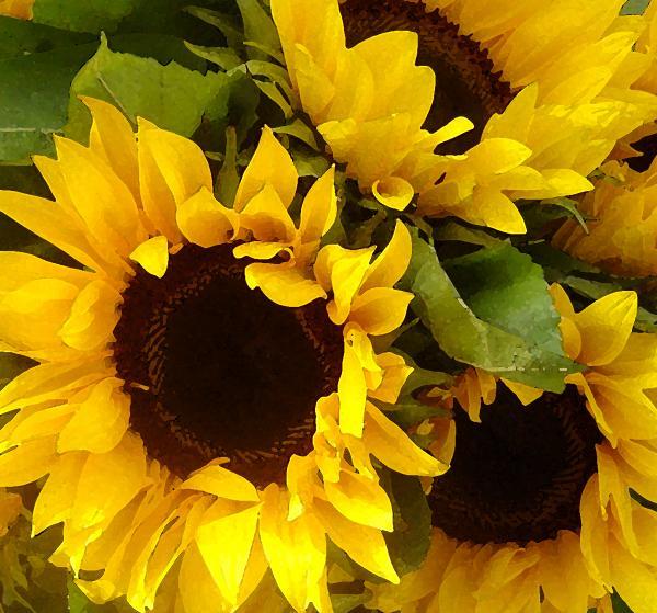 Sunflowers Print by Amy Vangsgard