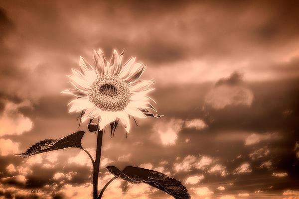Sunflowers Print by Bob Orsillo