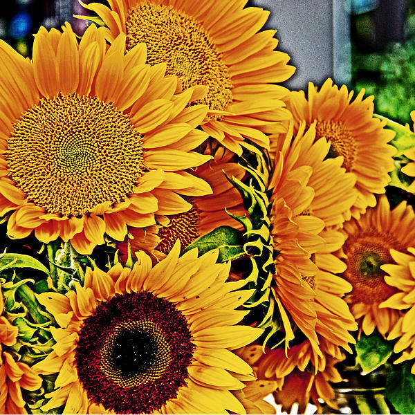 Tom Gari Gallery-Three-Photography - Sunflowers