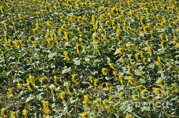 Sunflowers In Chianti Print by Sami Sarkis