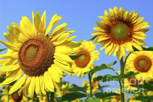 Sunflowers In Field Print by Elena Elisseeva