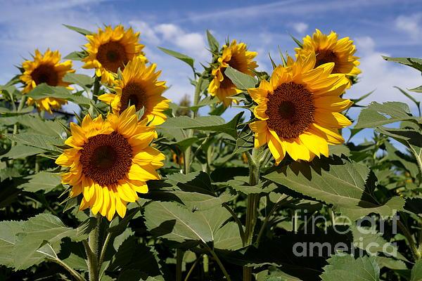 Sunflowers Print by Kerri Mortenson