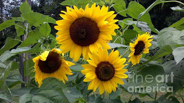 Sunflowers Print by Polly Anna