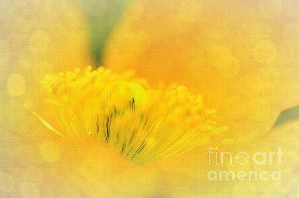 Sunlight On Poppy Abstract Print by Kaye Menner