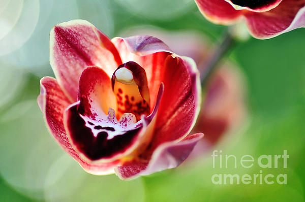 Sunlit Miniature Orchid Print by Kaye Menner