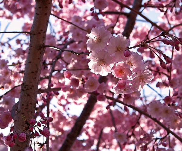 Sunlit Pink Blossoms Print by Rona Black