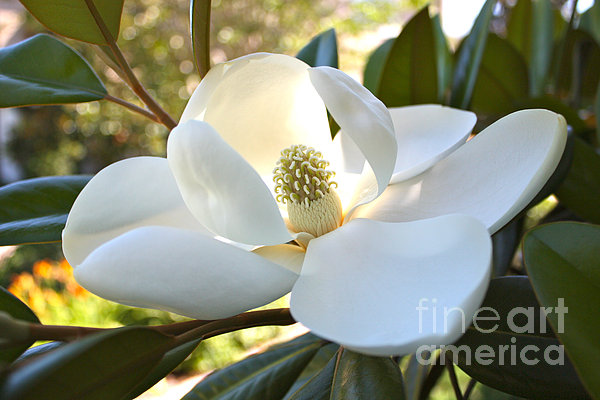 Sunlit Southern Magnolia Print by Carol Groenen