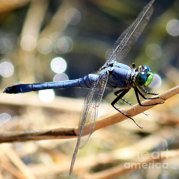 Sunning Blue Dragonfly Square Print by Carol Groenen