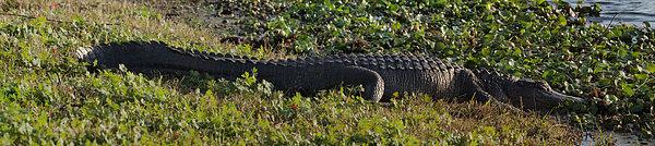 Sunny Alligator Print by Joshua House