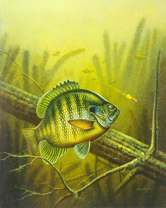 Sunny Day Panfish Print by Jon Q Wright