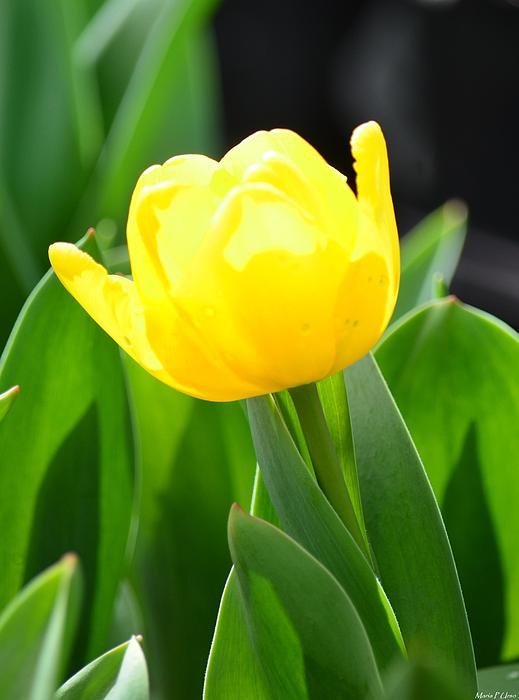 Sunny Yellow Tulip Print by Maria Urso