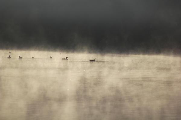 Sunrise Geese Print by Melissa Petrey