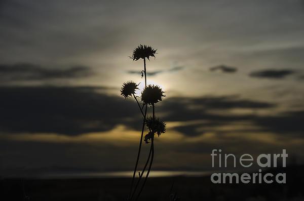 Sunset Flower Print by Nicole Markmann Nelson