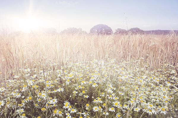 Sunshine Over The Fields Print by Natalie Kinnear