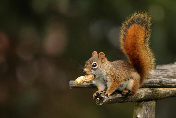 Surprised Red Squirrel With Nut Portrait Print by Debbie Oppermann