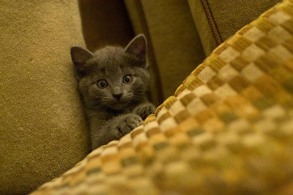 Surprised Kitten Print by Matt Radcliffe