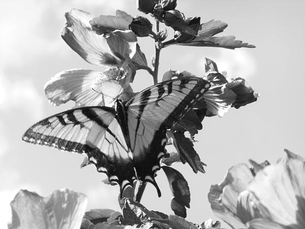 Swallowtail And Rose Of Sharon Bw Print by Diannah Lynch