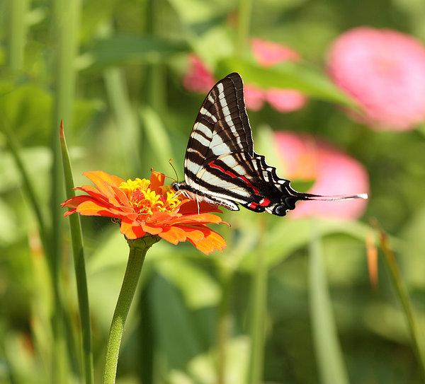 Swallowtail Butterfly Print by Kim Hojnacki