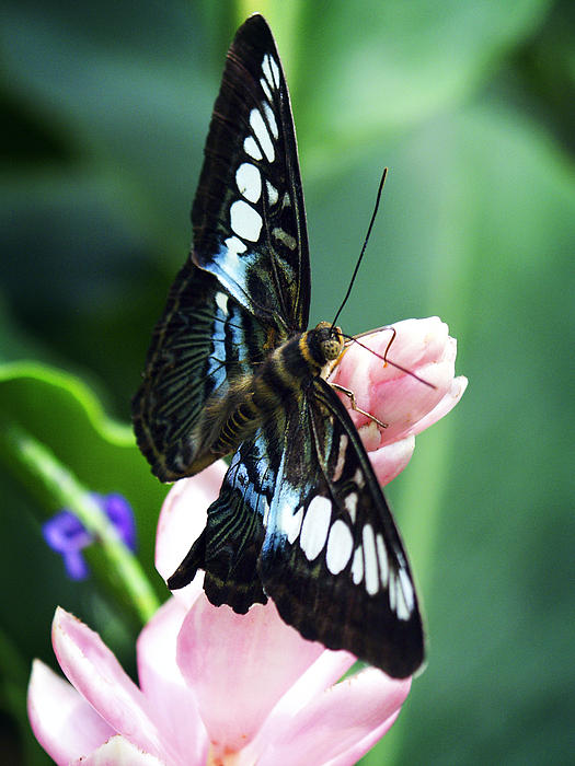 Swallowtail Butterfly Print by Marilyn Hunt