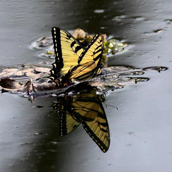 Travis Truelove - Swallowtail - Butterfly - Reflections