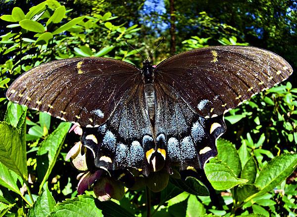 Swallowtail Butterfly Print by Susan Leggett