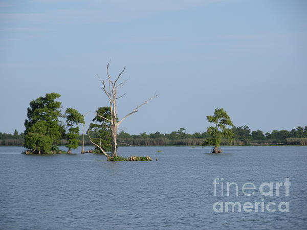 Joseph Baril - Swamp Cypress Trees