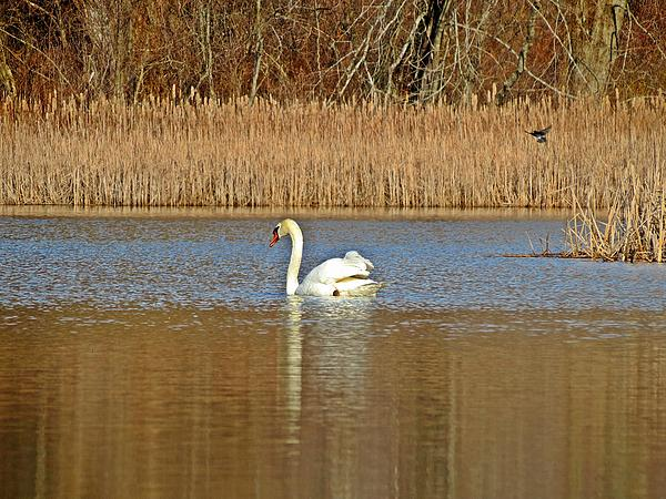 MTBobbins Photography - Swan and Swallow