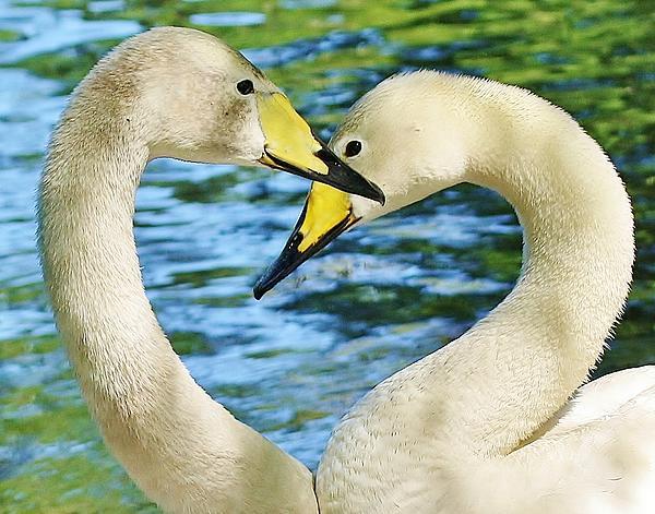 Swan Heart Print by Paulette Thomas
