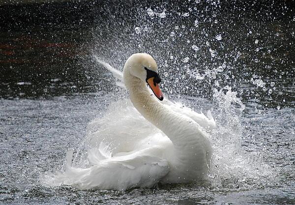 Kathy Gibbons - Swan