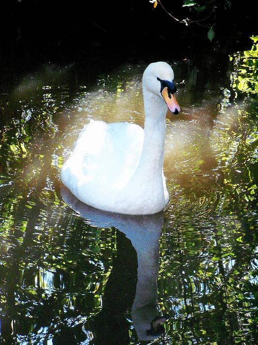 Nancy Pauling - Swan Reflections