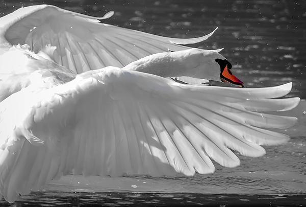 Brian Stevens - Swan wings