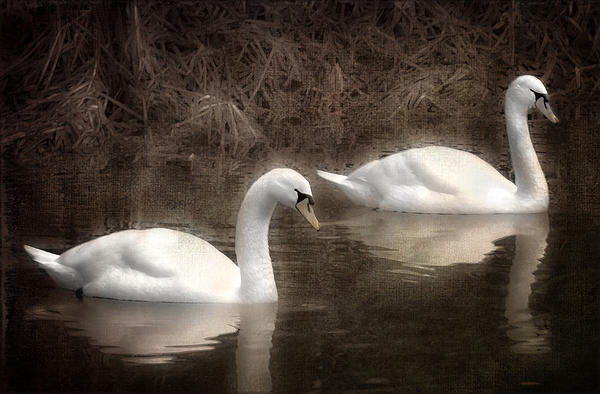 Swans For Life Print by Jason Green