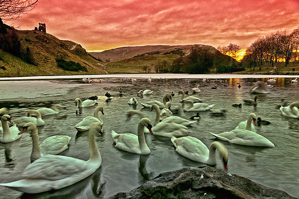 Swans In The Loch Print by Jean-Noel Nicolas