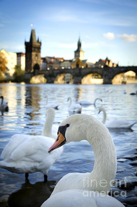 Swans On Vltava River Print by Jelena Jovanovic