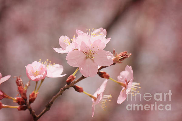 Sweet Blossom Print by HJBH Photography