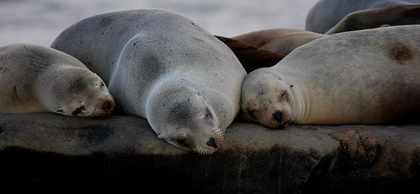Sweet Dreams Seals Print by Ruth Jolly