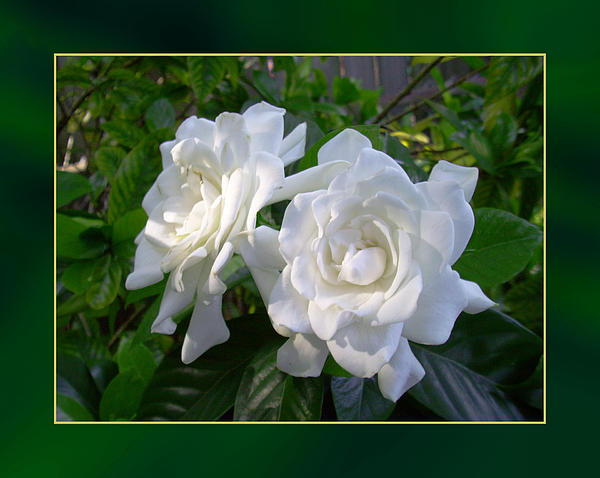 Sweet Gardenia Print by Ginny Schmidt
