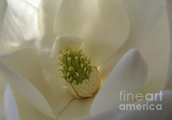 Sweet Magnolia Print by Peggy J Hughes