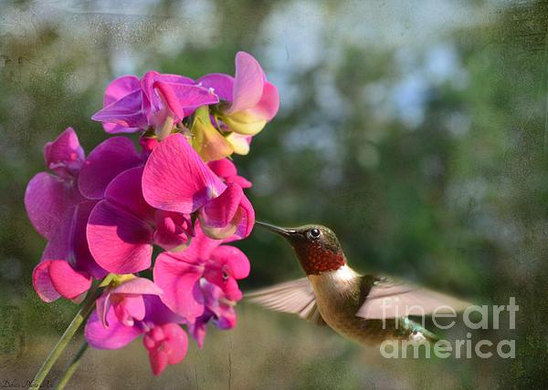 Sweet Pea Hummingbird Print by Debbie Portwood