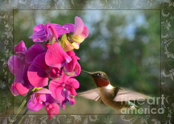 Sweet Pea Hummingbird IIi Print by Debbie Portwood