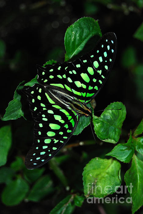 Tailed Jay Butterfly Print by Eva Kaufman