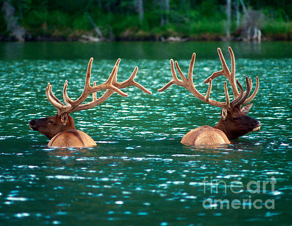 Talbot Lake Elk Print by Terry Elniski